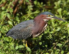 Green Heron (Doug Lloyd) Tags: bird heron texas greenheron