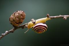 In the Spotlight (Vie Lipowski) Tags: nature wildlife snail pinecone detritivore starekoluszkipoland bluespruceinthebg