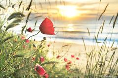 Spring sea (.:: Maya ::.) Tags: sea black flower nature kara sunrise spring bulgaria poppy dere          mayaeye mayakarkalicheva