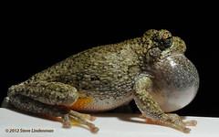 Frog on Rail (Steve Lindenman) Tags: macro frog cpmg0512sa lindenmanmacro