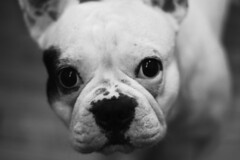 Kal-El (María Granados) Tags: blackandwhite dog cute love blancoynegro puppy 50mm adorable perro frenchie frenchbulldog lovely 50mmf18 bulldogfrances
