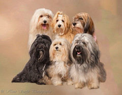 Havanese from one breeder (Hans Surfer (where the action is)) Tags: dogs collage 1001nights havanese autofocus thegalaxy topshots natureselegantshots coth5 1001nightsmagiccity theoriginalgoldseal mygearandme flickrsportal ringexcellence blinkagain dblringexcellence tplringexcellence bestofblinkwinners canonef24105lf4is rememberthatmomentlevel1 magicmomentsinyourlife magicmomentsinyourlifelevel2 magicmomentsinyourlifelevel1 canonidiii 6on1