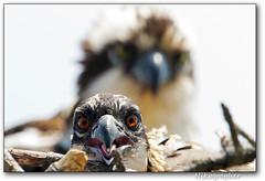 MD Osprey Chick 2012