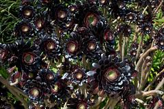 Aeonium arboreum, Tresco Abbey Gardens (pt101) Tags: islesofscilly canonef1740mmf4l aeoniumarboreum trescoabbeygardens