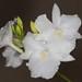 Broughtonia sanguinea var. alba - Merle Robboy