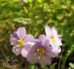 Jacobs Ladder sm (BarbieW) Tags: flower rose alaska star soap berry blossom barbie palmer valley wildflowers wagner lupine kinn matanuska knik wasilla bythespiritphotography