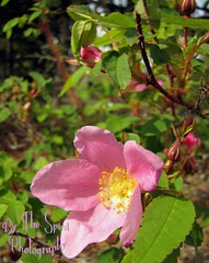 Wild roses sm (BarbieW) Tags: flower rose alaska star soap berry blossom barbie palmer valley wildflowers wagner lupine kinn matanuska knik wasilla bythespiritphotography