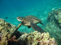 Honu (hawaiiansupaman) Tags: ocean hawaii underwater turtle maui
