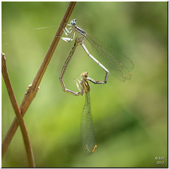 Holiday Romance (Maria-H) Tags: panasonic greece mating damselfly 100300 evia gh2 explored euboea marmari stereaellada aghiosdimitrios dmcgh2