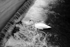 Swan against the tide (zawtowers) Tags: white black water against monochrome up swimming river mono swan waves market crash derbyshire centre tide north wave valley bakewell wye towm