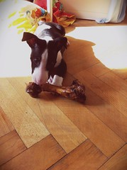 #yoshi #bone #feast #monster #puppy #terrier #teeth #bullterrier #bull #terrier #batdog (sergiuszrycki) Tags: monster feast puppy teeth bull terrier bone bullterrier yoshi batdog