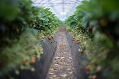 (23fumi) Tags: plant green fruit strawberry nikon dof bokeh cosina voigtlander 58mm nokton  d600      voigtlandernokton58mmf14slii
