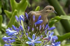 Eared dove on African Lily (PriscillaBurcher) Tags: ngc npc zenaida trtola eareddove zenaidaauriculata torcaza palomacollareja torcazanagiblanca violeteareddove trtolatorcaza blueeareddove winecoloreddove l1210959