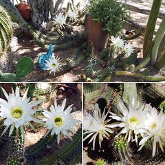 The Gallery in the Suns Night-blooming Cereus has ten flowers today! (DeGrazia Gallery in the Sun) Tags: flowers arizona cactus ted flores architecture artist gallery desert artgallery tucson az adobe blooms cereus degrazia catalinas nightbloomingcereus ettore nationalhistoricdistrict galleryinthesun