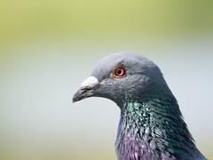 Portretje van een duif (Gerrit_Last) Tags: bird nature colorfull dove portret duif
