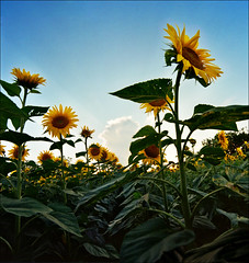 Sunflower (Katarina 2353) Tags: summer field sunflower katarinastefanovic katarina2353