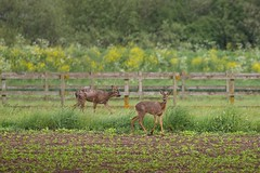 Deer.RAW best.20.5 (7) (Large) (deltic17) Tags: countryside wildlife free lincolnshire deer bambi roe roedeer coningsby
