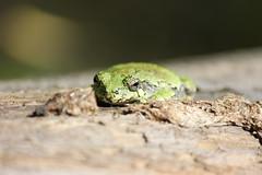Laying low (travisl4) Tags: plants ontario tree green texture lines grey y native frog bark gre