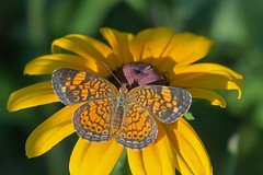Pearl Crescent (mishko2007) Tags: phyciodestharos 105mmf28 raleighnc