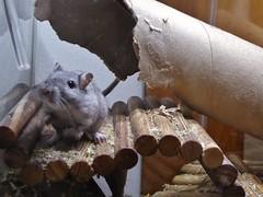 P1000082 (therovingeye) Tags: pets gerbil rodents gerbilhabitat
