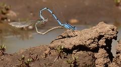 Damsel Love (Chamblin1) Tags: blue love pond heart insects copulation dragonflys damselflys