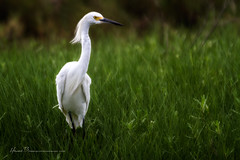 Curly... (LouisAnnImage - The Photography of Howard Brown) Tags: white bird water island florida snowy wildlife feathers feather waterbird national egret merritt refuge cflwetlands