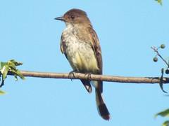 Eastern Phoebe, June 28, 2016 (gurdonark) Tags: bird birds wildlife eastern phoebe suncreek park allen texas