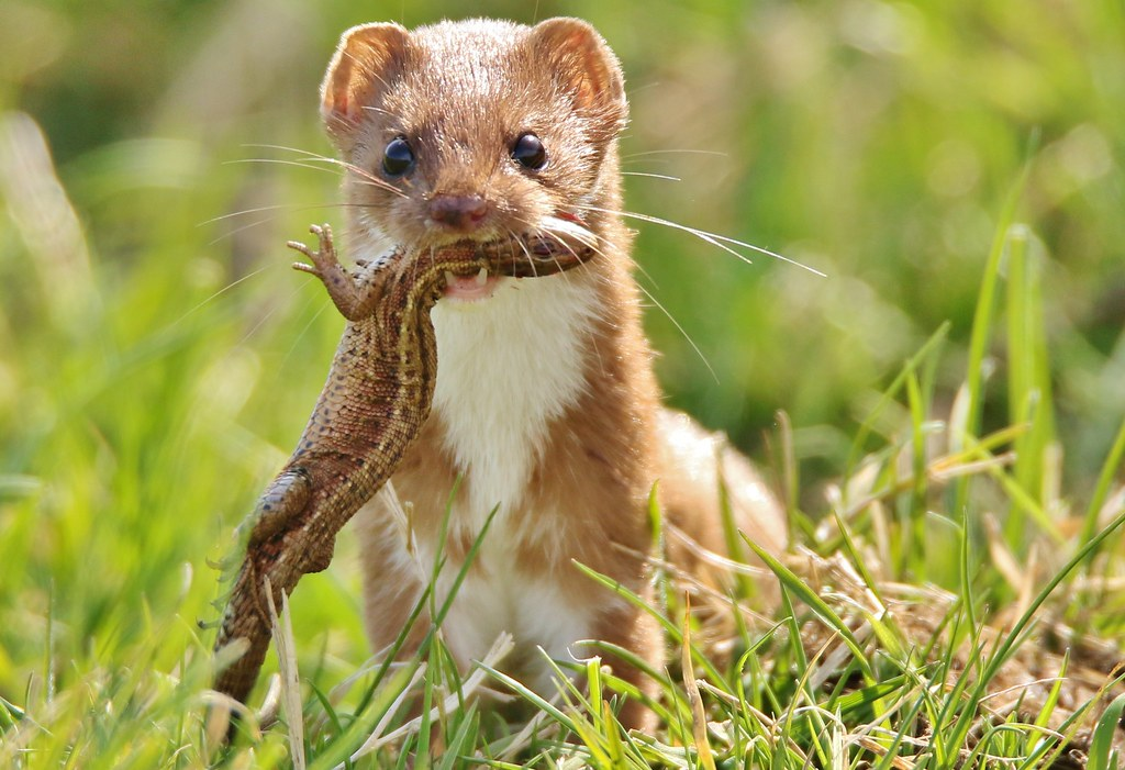 What does a stoat look like