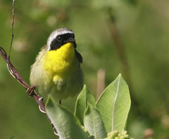 Common-Yellowthroat-55w (egdc211) Tags: bird nature birds canon outdoors ornithology birdwatcher yellowthroat yardbird commonyellowthroat backyardbirding connecticutwildlife naturewatcher newenglandwildlife connecticutbirds newenglandbirds connecticutbird newenglandbird newenglandwildlifephotography