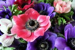 Bunch of color (louise peters) Tags: pink blue red white flower color green colors colorful groen blauw purple anemone stamen bunch bouquet bos rood wit kleurrijk roze paars bloem boeket kleur kleuren anemoon meeldraden