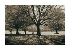 All Eyes On Ewe (icypics) Tags: trees silhouette sepia spring shadows sheep derbyshire peakdistrict lambs backlit pastoral chatsworth