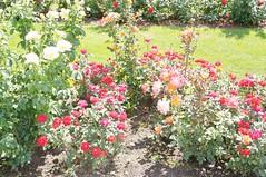 11884694_10153105242477076_7513755350955475688_o (jmac33208) Tags: park new york roses rose garden central schenectady