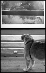 "Quiet Reflections On ""Forgotten Memory II"" In the Art Gallery (fotografier/images) Tags: leica dog pet reflection art norway goldenretriever 50mm graphic artgallery canine retriever sl viewer solibrug leicasl aposummicron kjellnupen littledoglaughedstories aposummicron50mm aposummicron50mmf2"