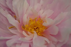 Hiding in a blanket of petals (padge83) Tags: pink flower macro yellow petals nikon westyorkshire peonies d5300