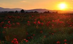 Maki (M Bak) Tags: flora maki poland gry zachd soca sowie popies lowersilesia zabkowiceslaskie