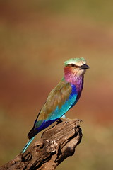 Colours of Africa (^Joe) Tags: colour bird birds animals mammal kenya wildlife mara masai