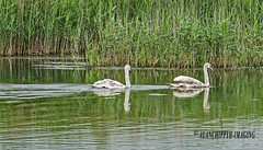 Mute Swans (Alanchippyh) Tags: brown black green birds young swans mute waterreflections