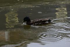 Duck and droplets (PChamaeleoMH) Tags: rain birds fauna ducks oxford jericho mallards oxfordcanal anatidae