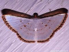 Geometer Moth - Leuciris fimbriaria - Family Geometridae 42 HC 2014-139 (Hickatee) Tags: forest insect rainforest belize wildlife moth culture lepidoptera toledo jungle geometridae puntagorda geometermoth nightflying hickatee geometer toledodistrict hickateecottages hickateebelize hickateepuntagorda