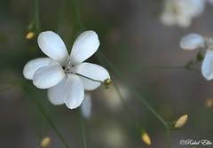 blanca entre amarillo (akel_lke ) Tags: rakel raquel elke rakelelke raquelelke rakelmurcia espaa spain espagne europa europe granada castril andalucia flower fleur fiore blumen  kvtina cvjetni kvetina floro lill lore kukka blodau    paj bloem virg bunga blm  zieds iedas  kwiat floare  blomma iek  hoa nikon nikond300s d300s nikkor18200 objetivo18200mm