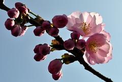 cherry blossoms (eva vee) Tags: pink light sky flower nature closeup cherry spring nikon close blossom sakura d5000