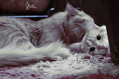 brotherly love (Sarah Altamimi) Tags: cats sarah   altamimi