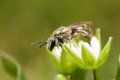 Halictini species (Wyatt Westerkamp) Tags: macro canon bee sweatbee halictini
