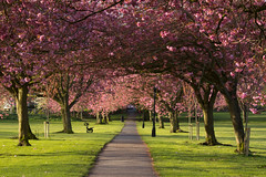 Harrogate (jillyspoon) Tags: pink flowers trees grass canon bench way blossom path empty seat yorkshire may tunnel symmetry harrogate passage 70200 deserted leadingline 60d canon60d thestay