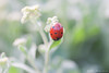 Une coccinelle fait le printemps [explore] (flo74.) Tags: flower macro nature fleur animal bug garden insect spring jardin explore ladybird printemps soe insecte coccinelle abigfave shieldofexcellence buzznbugz exlpored photophiles