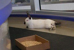 Hiccup (sallyvillarreal) Tags: bunnies rabbits hiccup hrrn austinanimalcenter