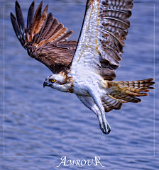 catch water (Amrou A) Tags: water valley catch saudiarabia hunt flay ospry hayer amrou kharj nikond7000 dblringexcellence nikkor300mmtc104