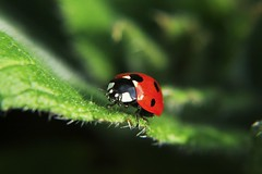 Ladybird (Chad Powell Design and Photography) Tags: macro canon insect filter ladybird ladybug filters 550dt2i