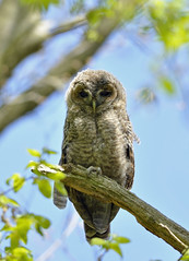 Juvenile Tawny Owl (Wouter's Wildlife Photography) Tags: bird nature wildlife ngc haagsebos tawnyowl takkeling strixaluco bosuil avianexcellence mygearandme mygearandmepremium mygearandmebronze mygearandmesilver dblringexcellence tplringexcellence eltringexcellence