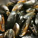 "Mussels • <a style=""font-size:0.8em;"" href=""http://www.flickr.com/photos/37996594610@N01/7123524657/"" target=""_blank"">View on Flickr</a>"